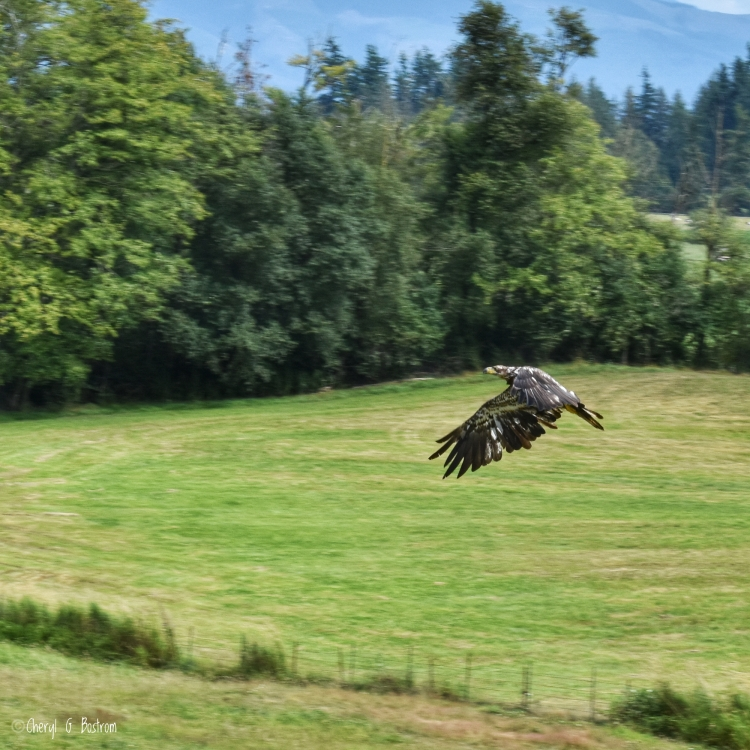 Juvenile bald eagle flies low over field
