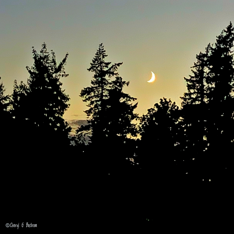 Waxing crescent in evening sky over fir trees