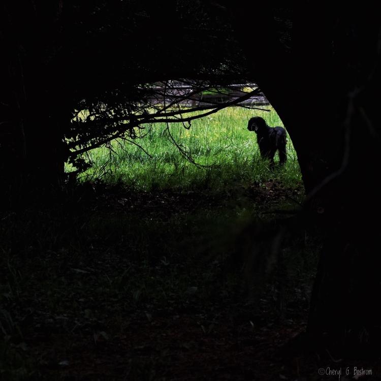 Gordon Setter looks back into dark forest