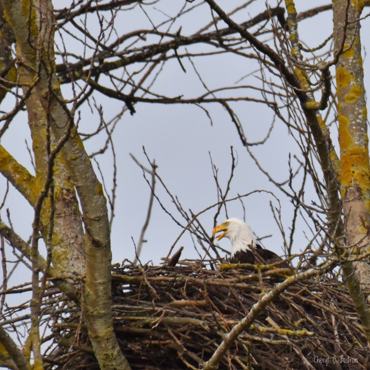 Bald eagle calls from nest