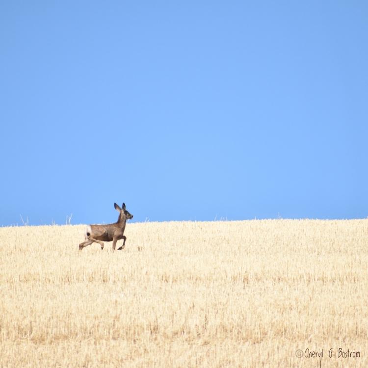 Mule deer trots across stubblefield with blue sky overhead