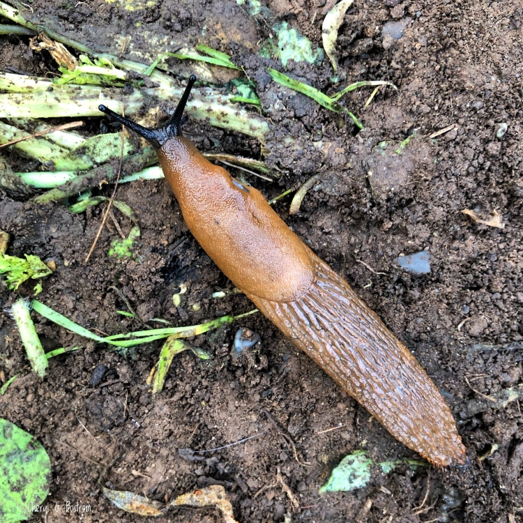 Slug trails across garden dirt