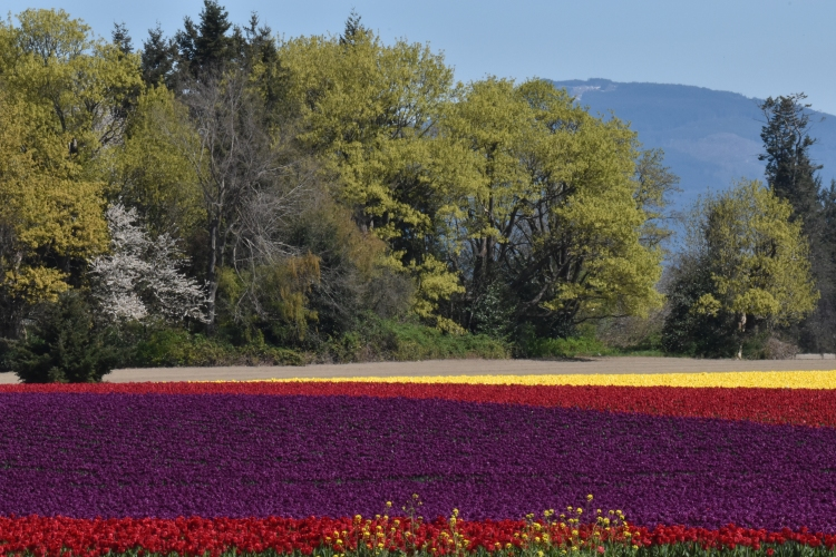 tulip-fields-in-bloom