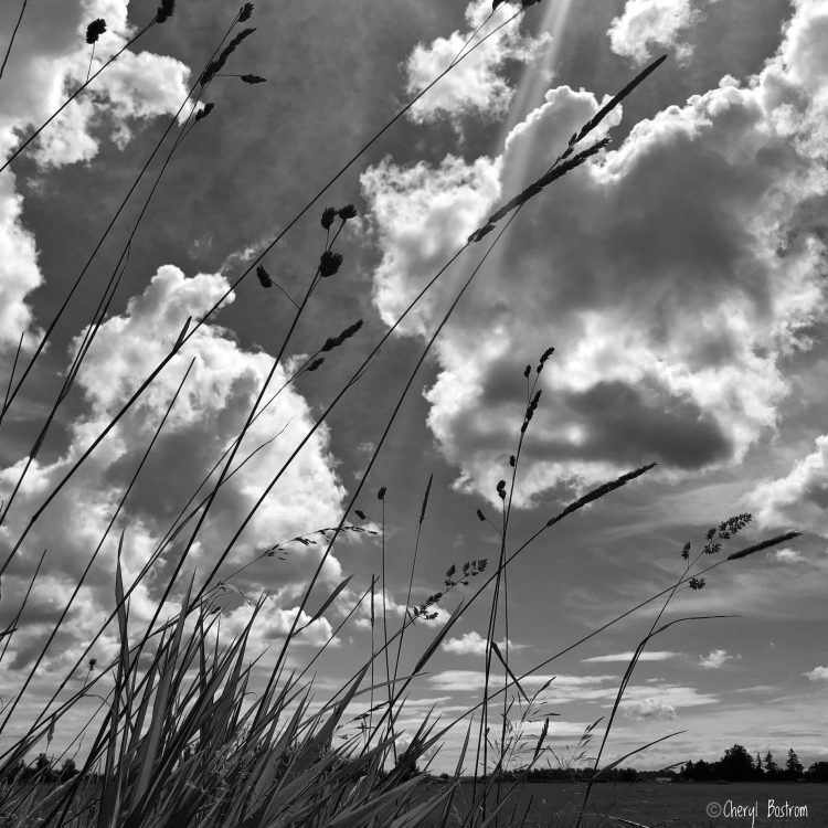 BW of clouds passing through blue sky behind tall, leaning grasses