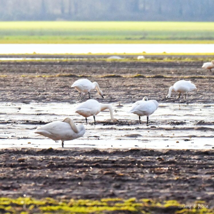 Trumpeter-swans-eat-and-sleep-on-mud-flats