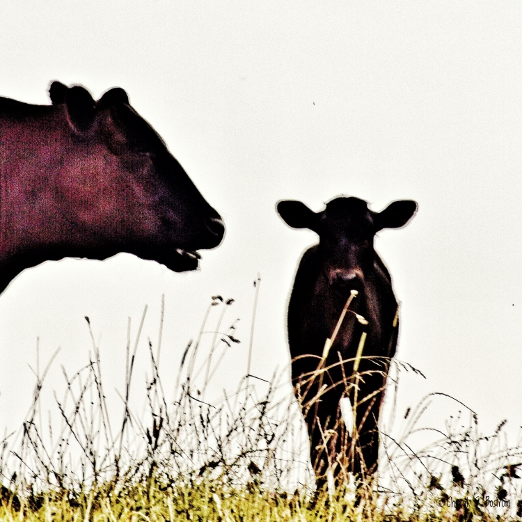 Mother cow appears to be speaking to calf
