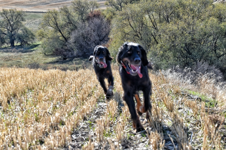 Two Gordon Setters with tongues lolling trot toward camera