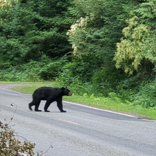 Black Bear crosses road toward forest in PNW