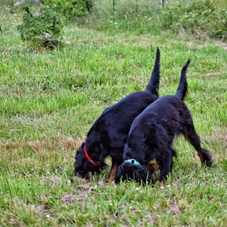 Two Gordon Setters with noses in the grass and tails held high