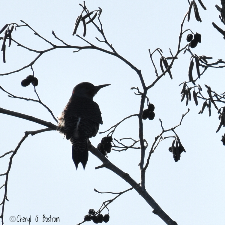 Silhouetted profile of a flicker on an alder branch