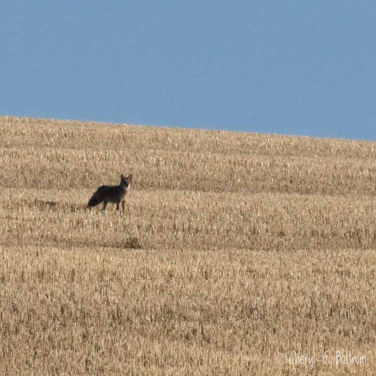 Coyote looks toward camera from wheat stubble