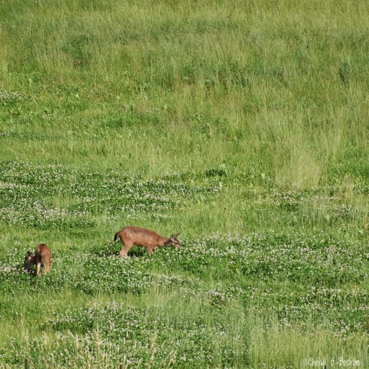 Two deer graze in field of clover