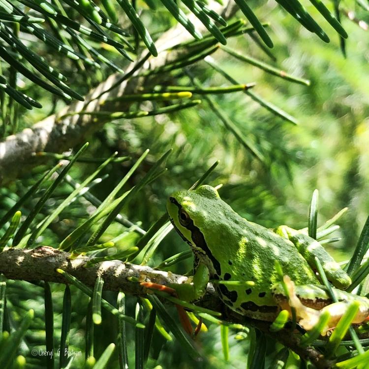 green pacific tree frog on Douglas fir branch