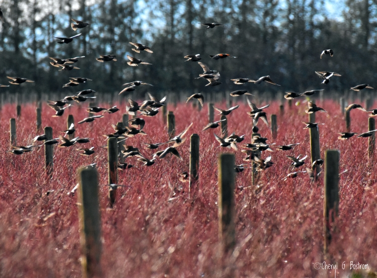 Blackbirds-in-blueberry-field