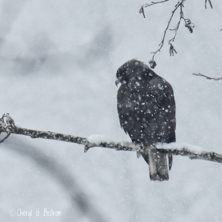 Hawk-huddles-in-snowstorm