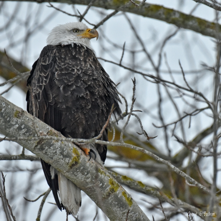 Tired bald eagle huddles on branch