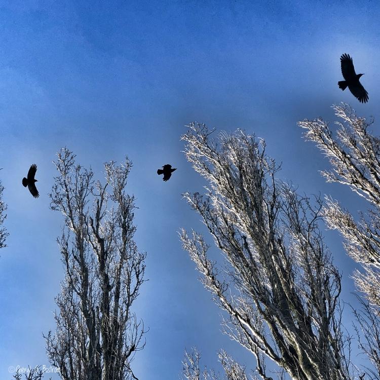 Three-crows-fly-toward-three-trees