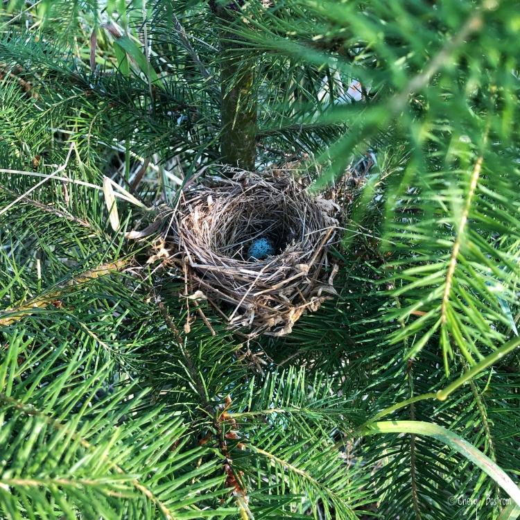 Bird nest with egg in fir tree