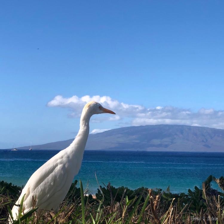 Egret-hunts-lizards