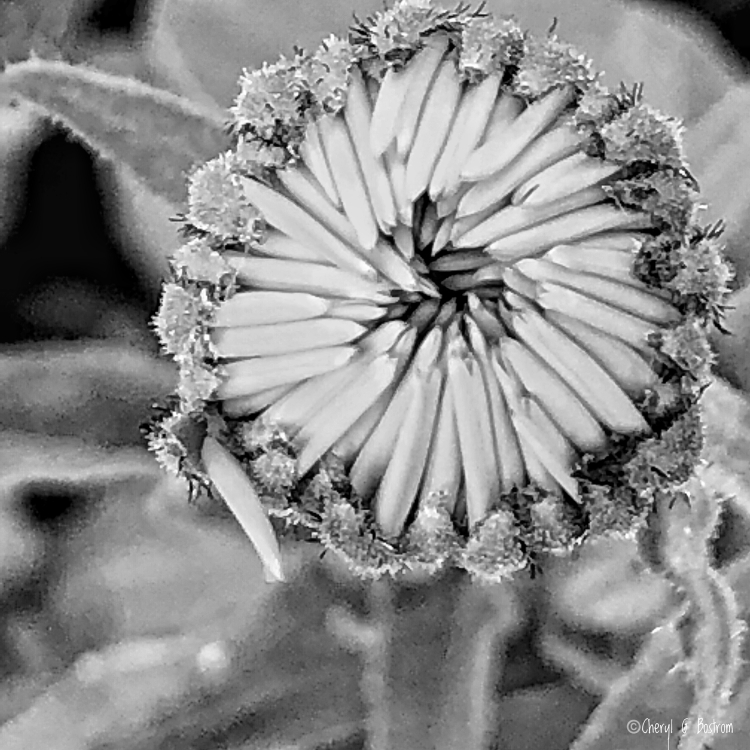 Flower bud with petals turned inward in black and white