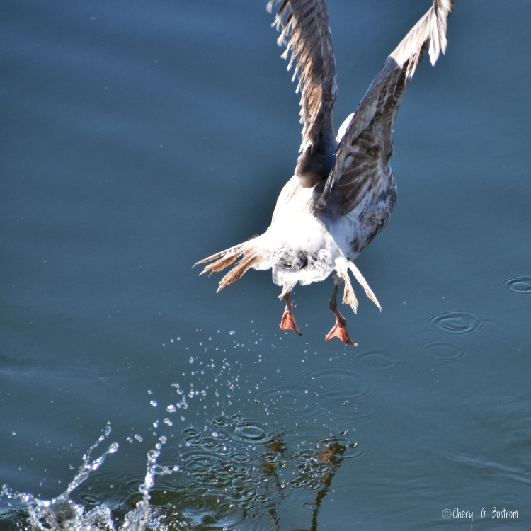 Fledgling gull with pinfeathers takes flight from water