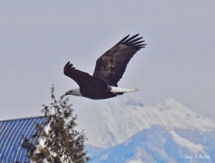bald eagle flies in front of Mt. Baker