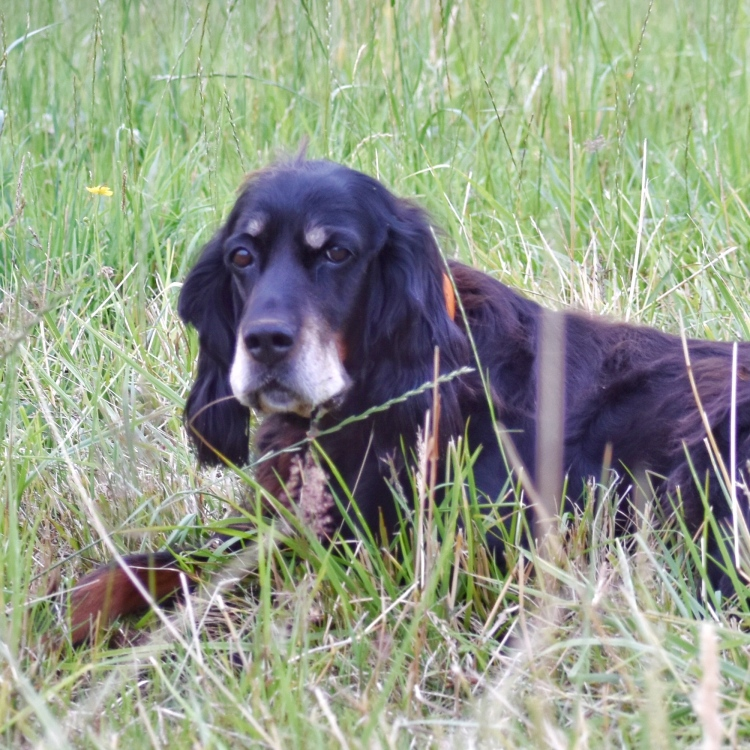 Old Gordon Setter lying in field