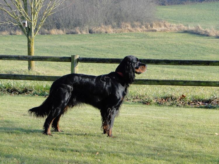 Gordon Setter Lucy age six overlooking field