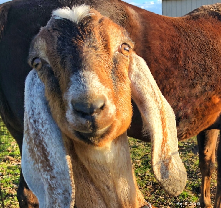 goat with hyphen eyes