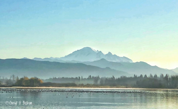 Assembly of waterfowl on Wiser Lake beneath Mt. Baker