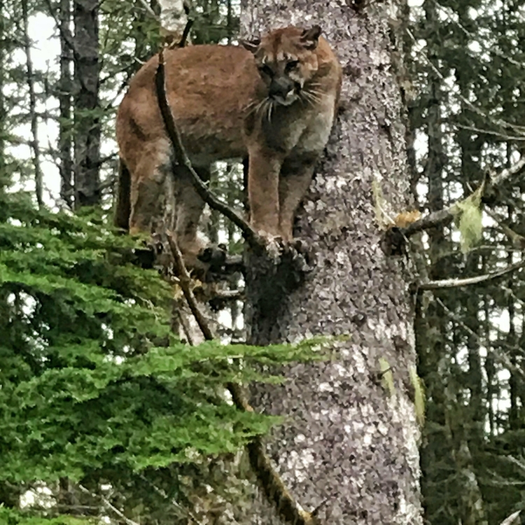 Cougar-in-tree