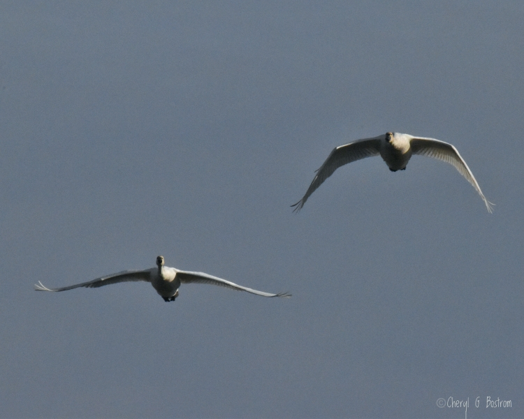 Two trumpeter swans fly straight toward the camera