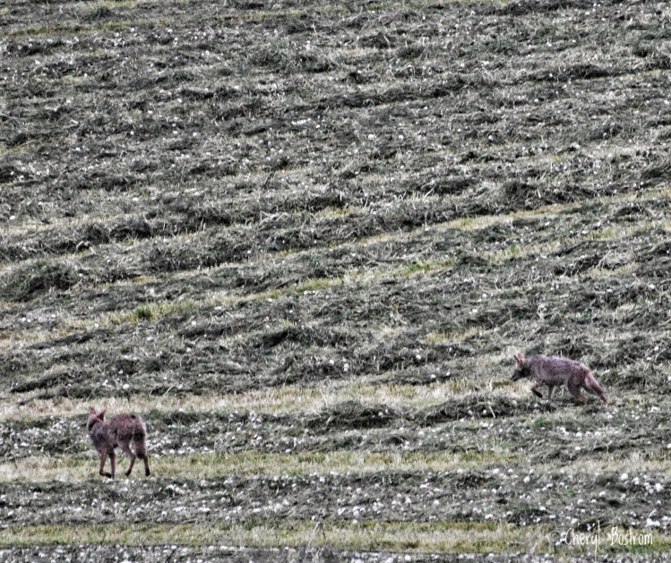 coyotes in hay field