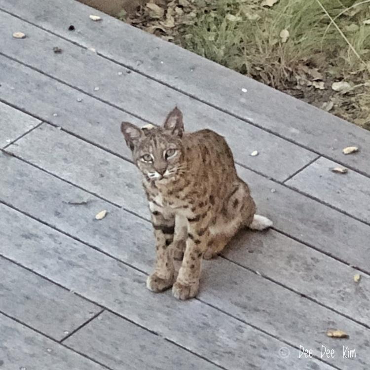 Female bobcat sitting on deck