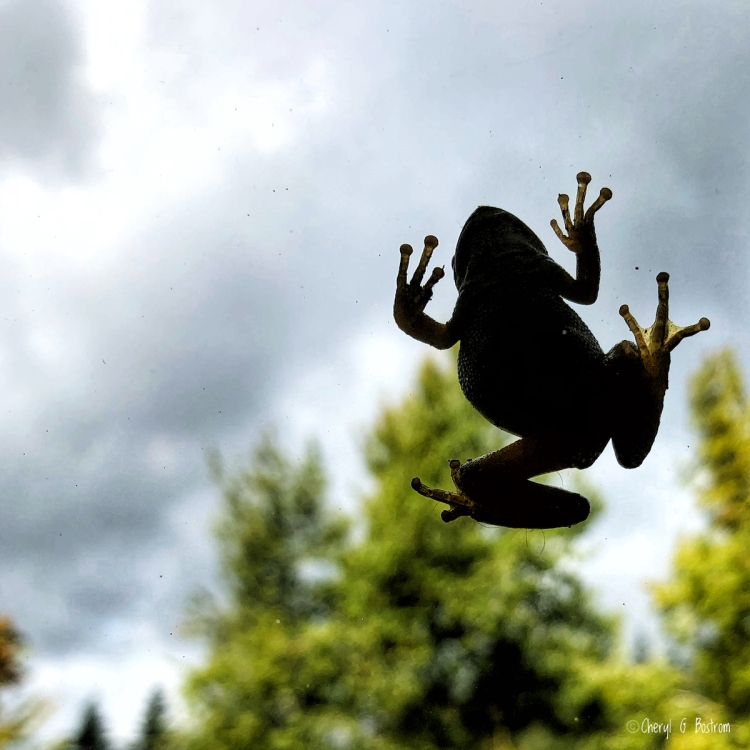 Frog silhouetted on window