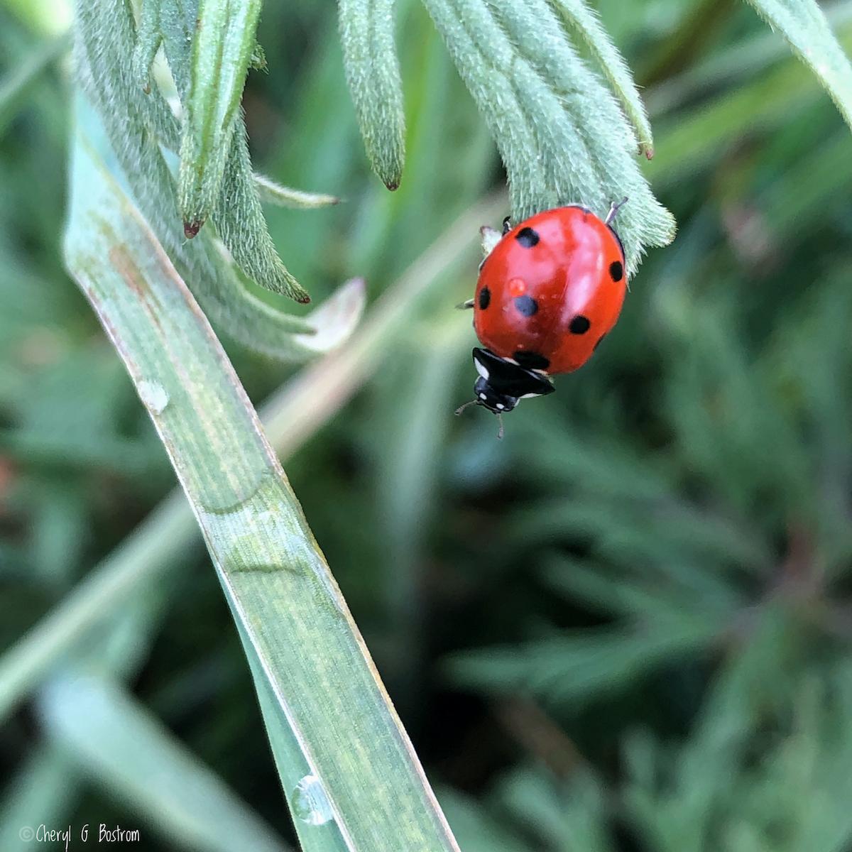 Reacher-Native-ladybug-reaches-into-air