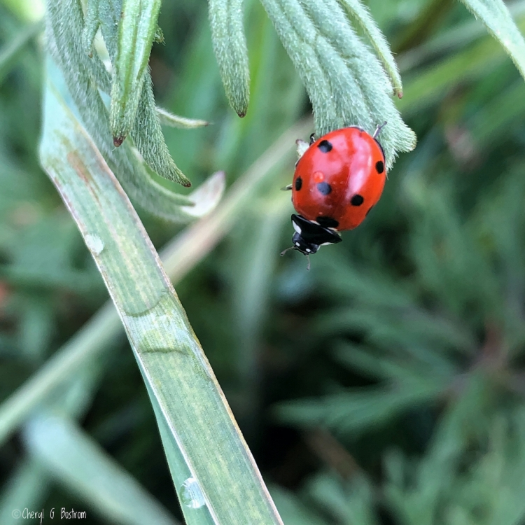 Reacher-Native-ladybug-reaches-into-air