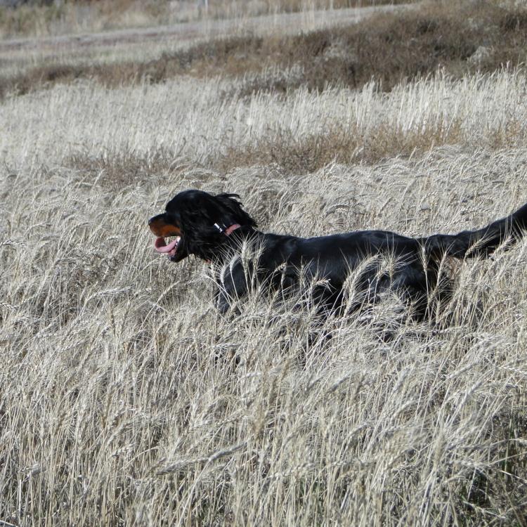 Young Gordon Setter trots through wheat field