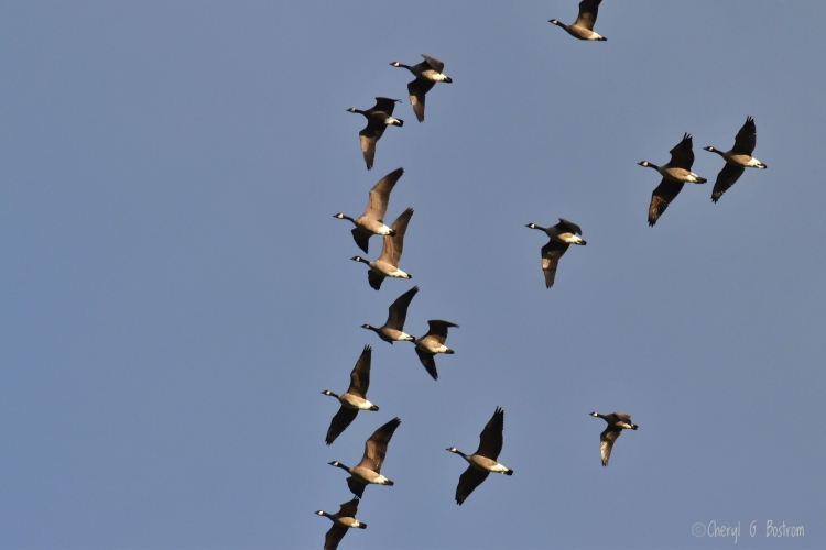 Canadian-geese-fly-overhead