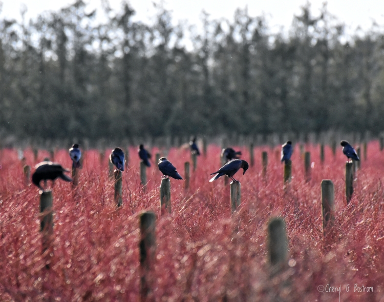 Crows perch on posts in red blueberry field