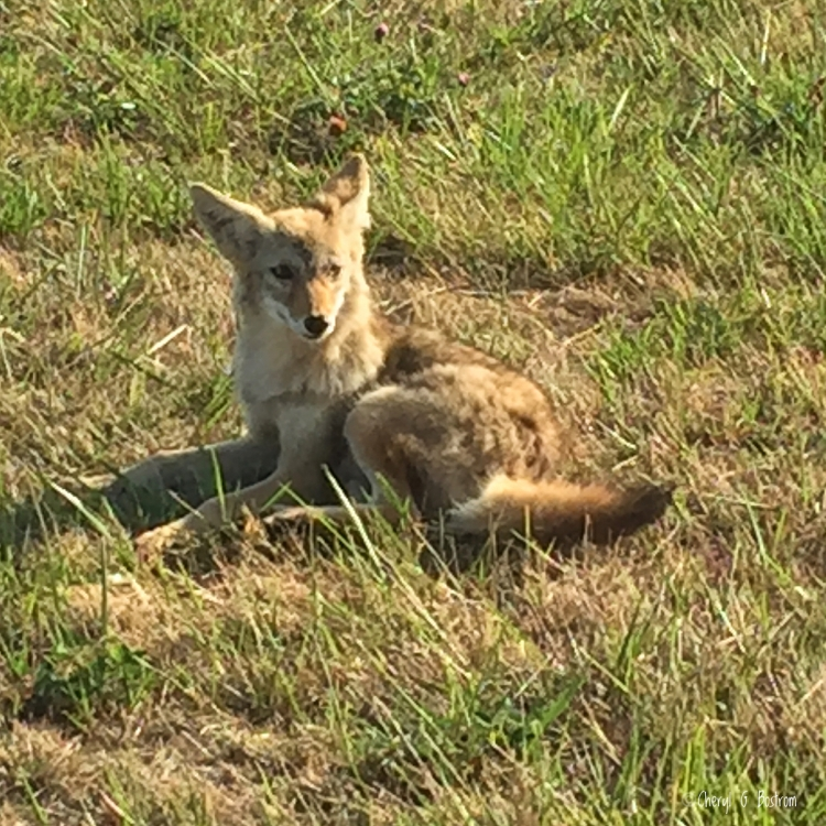Juvenile coyote lies in sunny pasture grass