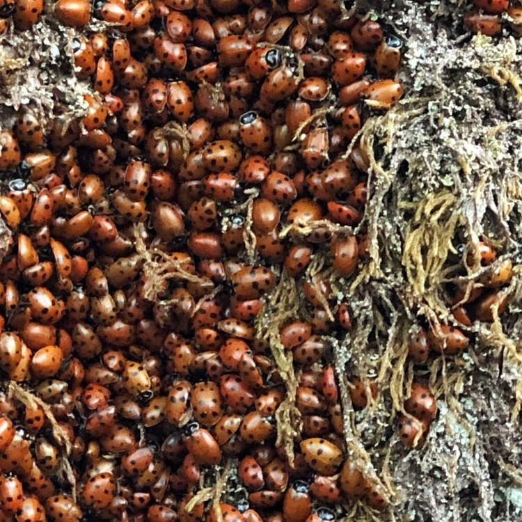 Close up of ladybugs clustered in Douglas fir tree