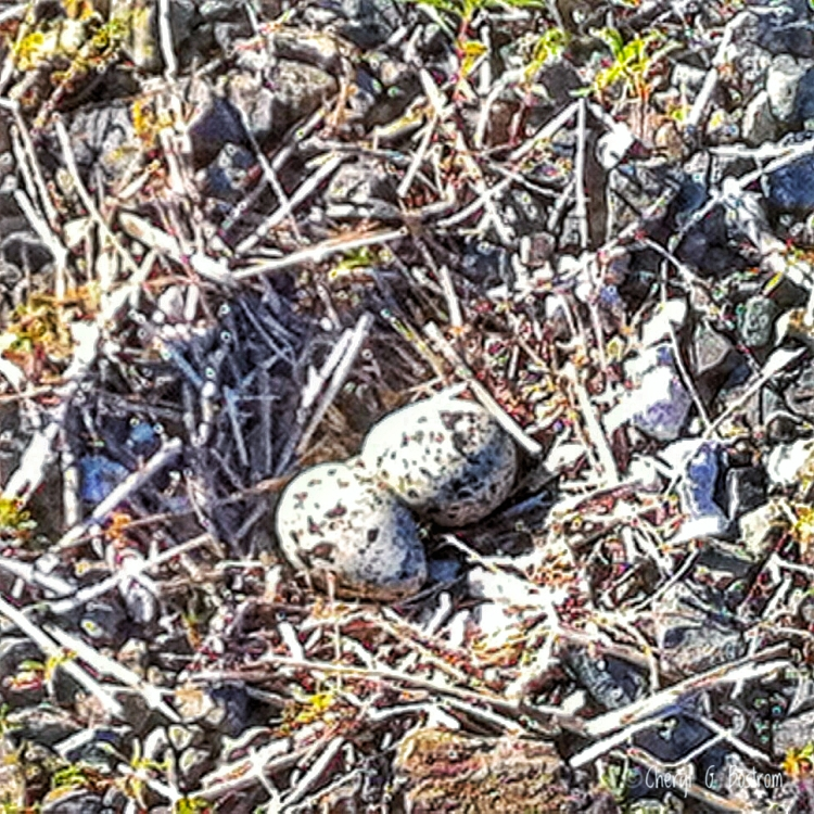 Kildeer nest with two speckled eggs