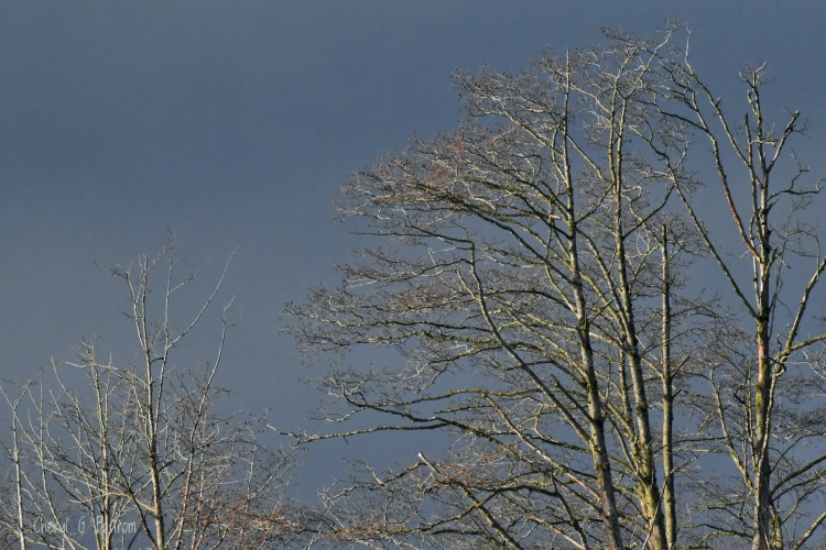 Sunlight illumines bare trees with dark cloud background
