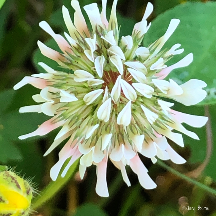 pink and white clover blossom