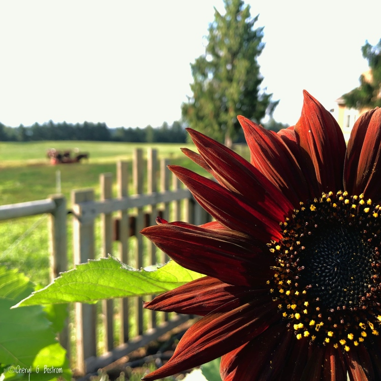 rusty sunflower