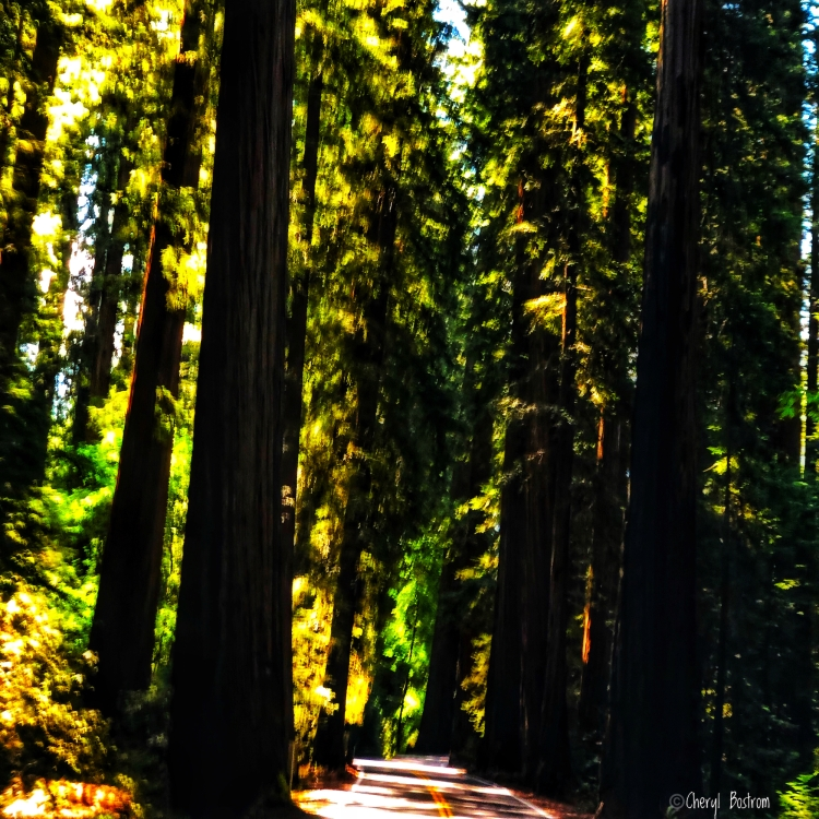 Dark redwood trees lining winding highway