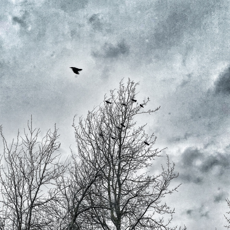 Crow flying into wind