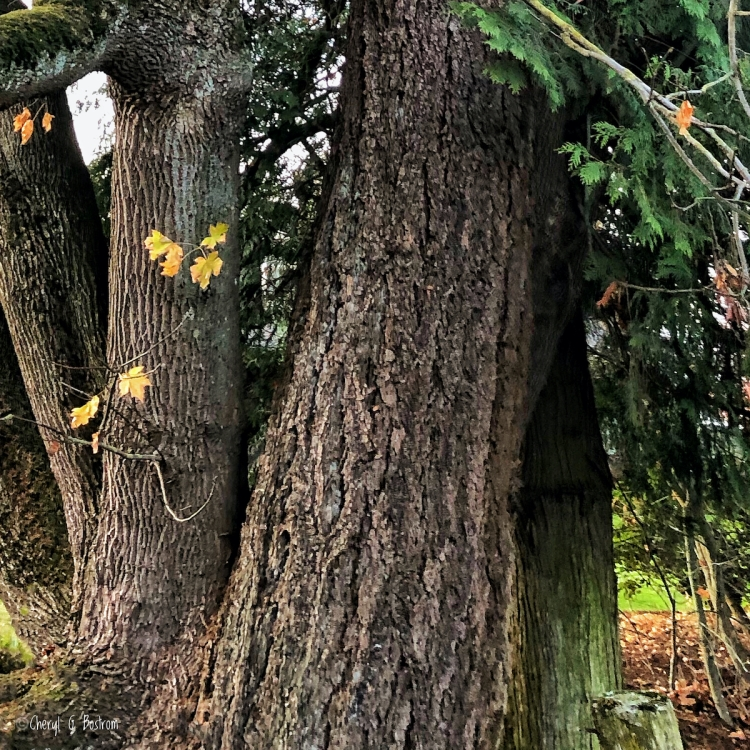 Cedar, fir, and maple growing as single tree