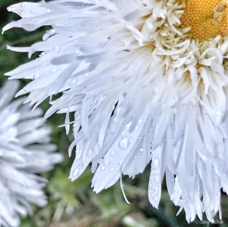 Shaggy Shasta daisy covered with raindrops